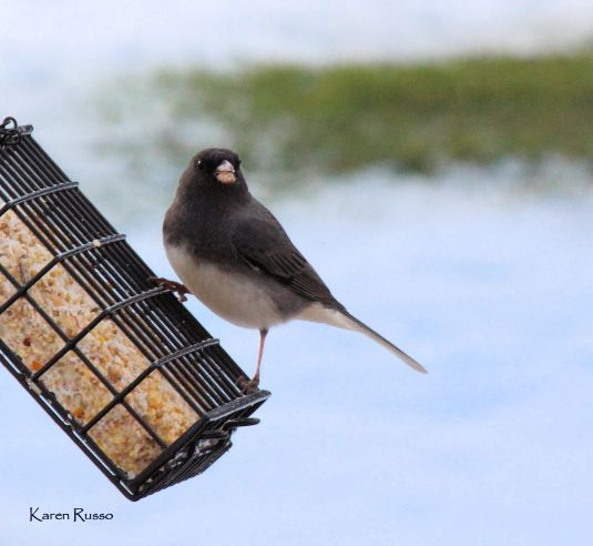 Junco2 by Karen Russo